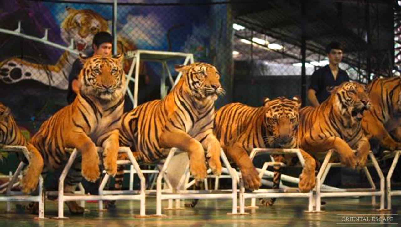 Kết quả hình ảnh cho tiger zoo Thailand